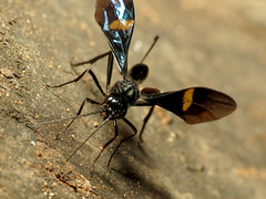 Black Aulacid Wasp Ovipositing