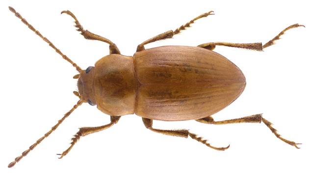 Xanthomus pallidus (Curtis, 1830)