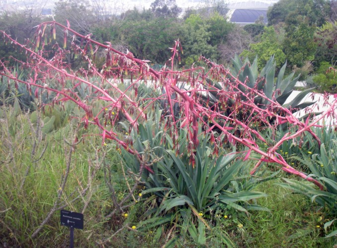 Beschorneria yuccoides 26194842037_016dccb857_o