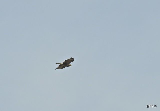 Scientific name: Buteo buteo    Common names: Eurasian buzzard