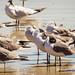 Small photo of Black-Headed Gulls, Amelia Island