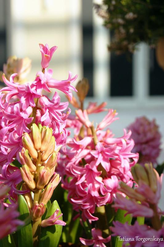 Цветение розовых гиацинтов