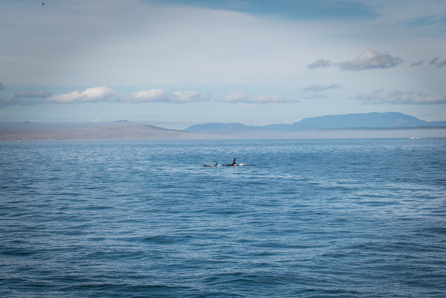 Whale Watching with San Juan Cruises