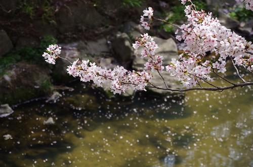 山崎川 桜2018-1
