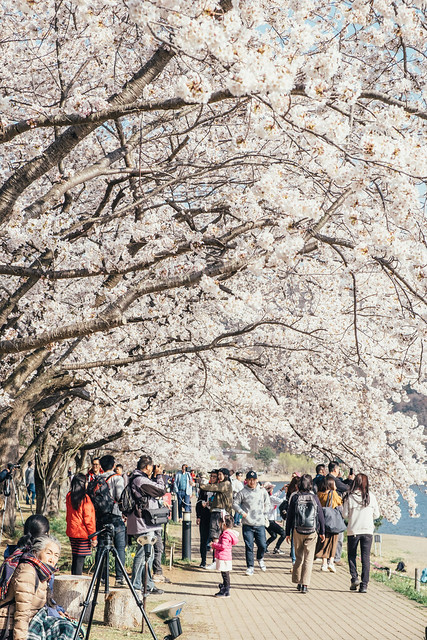 Photo:河口湖の桜 By kzy619