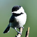 Shy little chickadee
