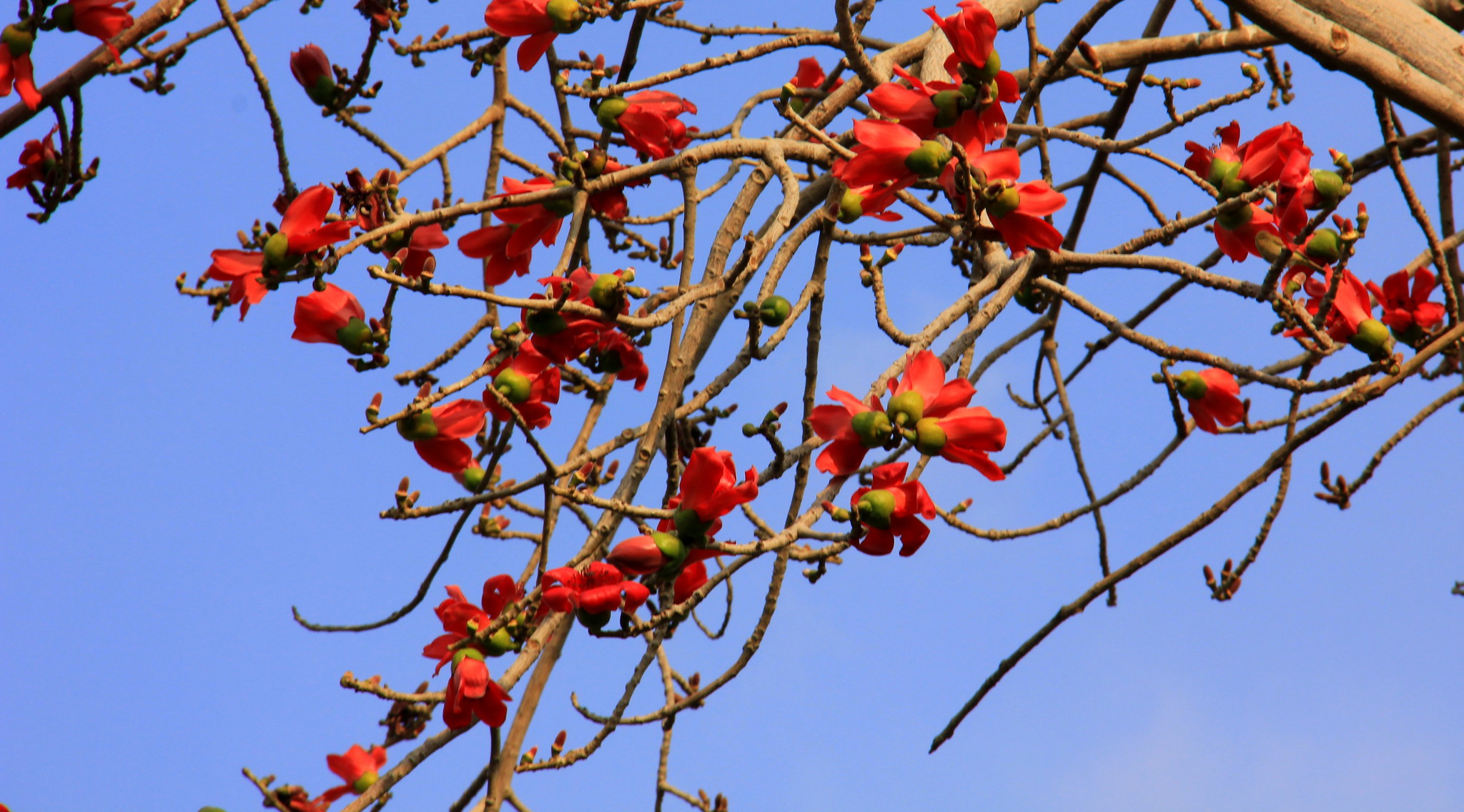 Palash is a Cairo spring flowers