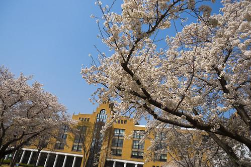 大学の桜2018