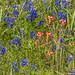 Texas Bluebonnets jn110558