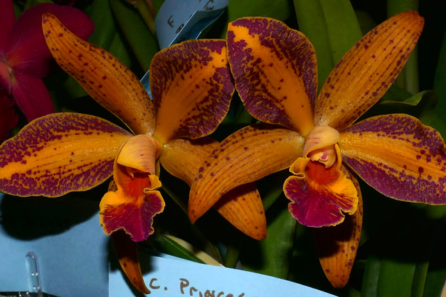 the 2018 pacific orchid exposition: Cattleya Princess Clementine x Rhyncholaeliocattleya Suncoast Sunspots hybrid orchid 2-18