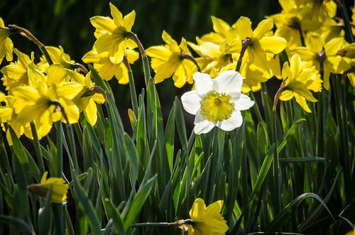 Skagit Daffodils-26