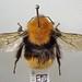 Bombus muscorum 'allenellus (Aran Island Bumblebee)