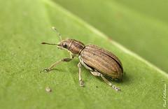 Sitona lineatus (Pea Leaf Weevil)