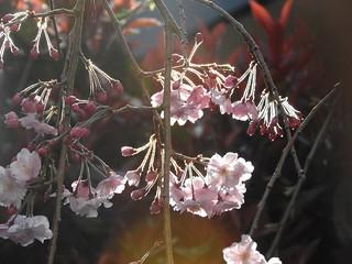 枝垂れ桜 3.28-3