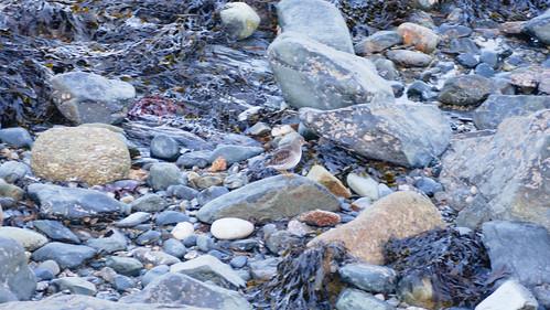 Purple sandpiper, Penzance shoreline