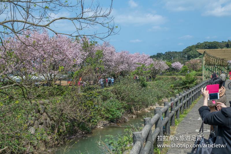 新北三芝三生步道,朵朵櫻花沿著河岸步道盛開綻放,陽光下,嬌豔的粉色更好拍,悠閒漫步賞櫻趣