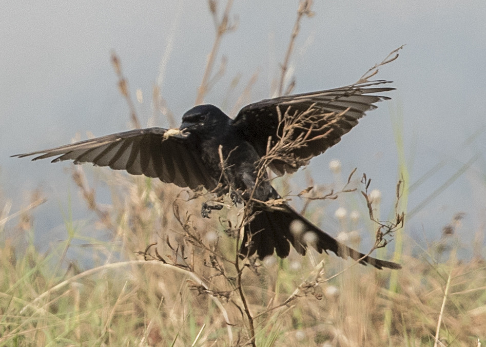 Black Drongo Dicrurus macrocercus