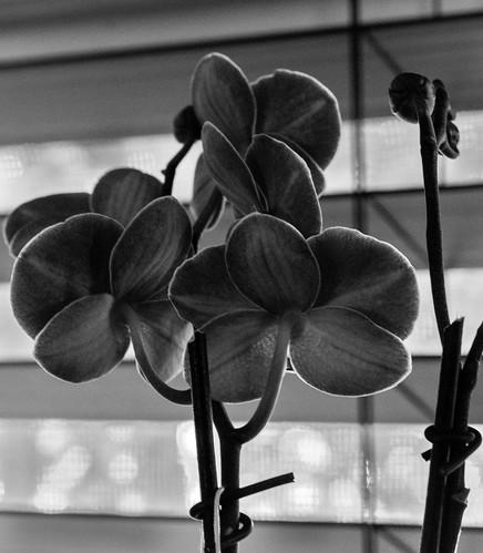 black white make me smile room with view 50mm18macro 7dw april2018 nikond610 flora orchid window blackandwhite makemesmile roomwithaview smileonsaturday