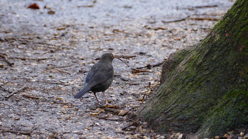 Female blackbird gathering twigs for nest