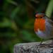 Robin in the Gardens