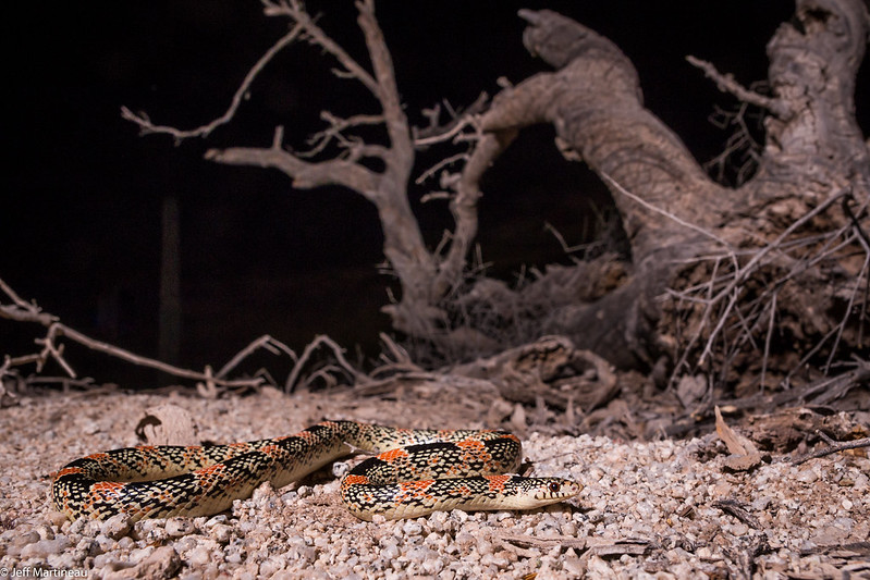 Rhinocheilus lecontei - Pinal County, AZ-3