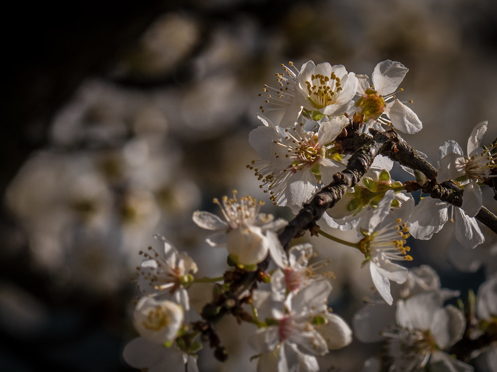 Pommiers sauvages du printemps 26073820147_98d1073f47_b