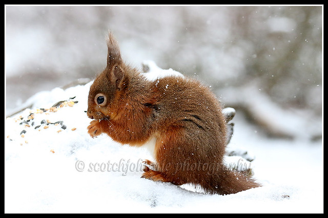 IMG_0114 Red Squirrel