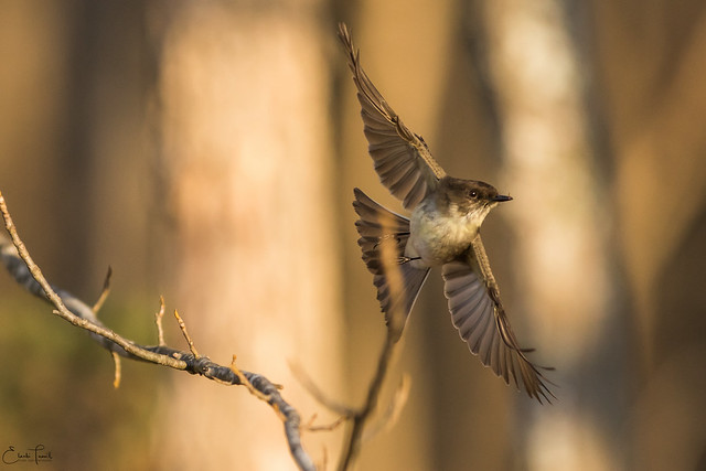 Eastern Phoebe., Canon EOS 7D MARK II, Canon EF 300mm f/2.8L IS