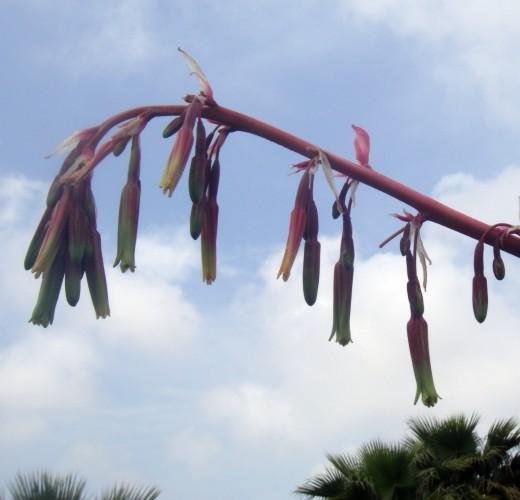 Beschorneria yuccoides 26194842457_c17f98914f_o
