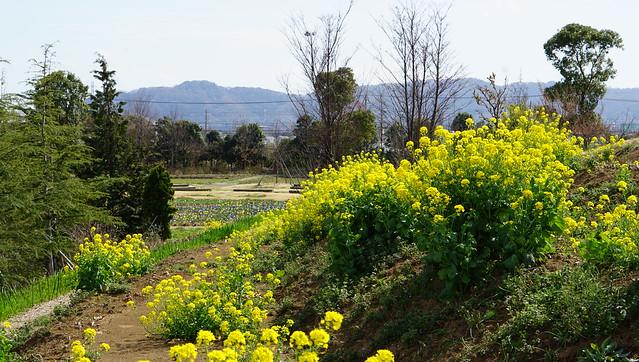 DSC07474花菜ガーデン