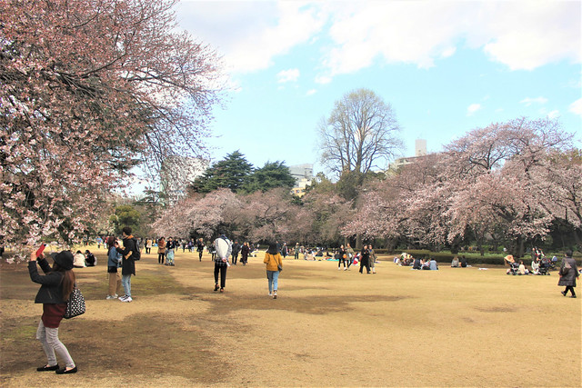 shinjukugyoen-sakura0323013