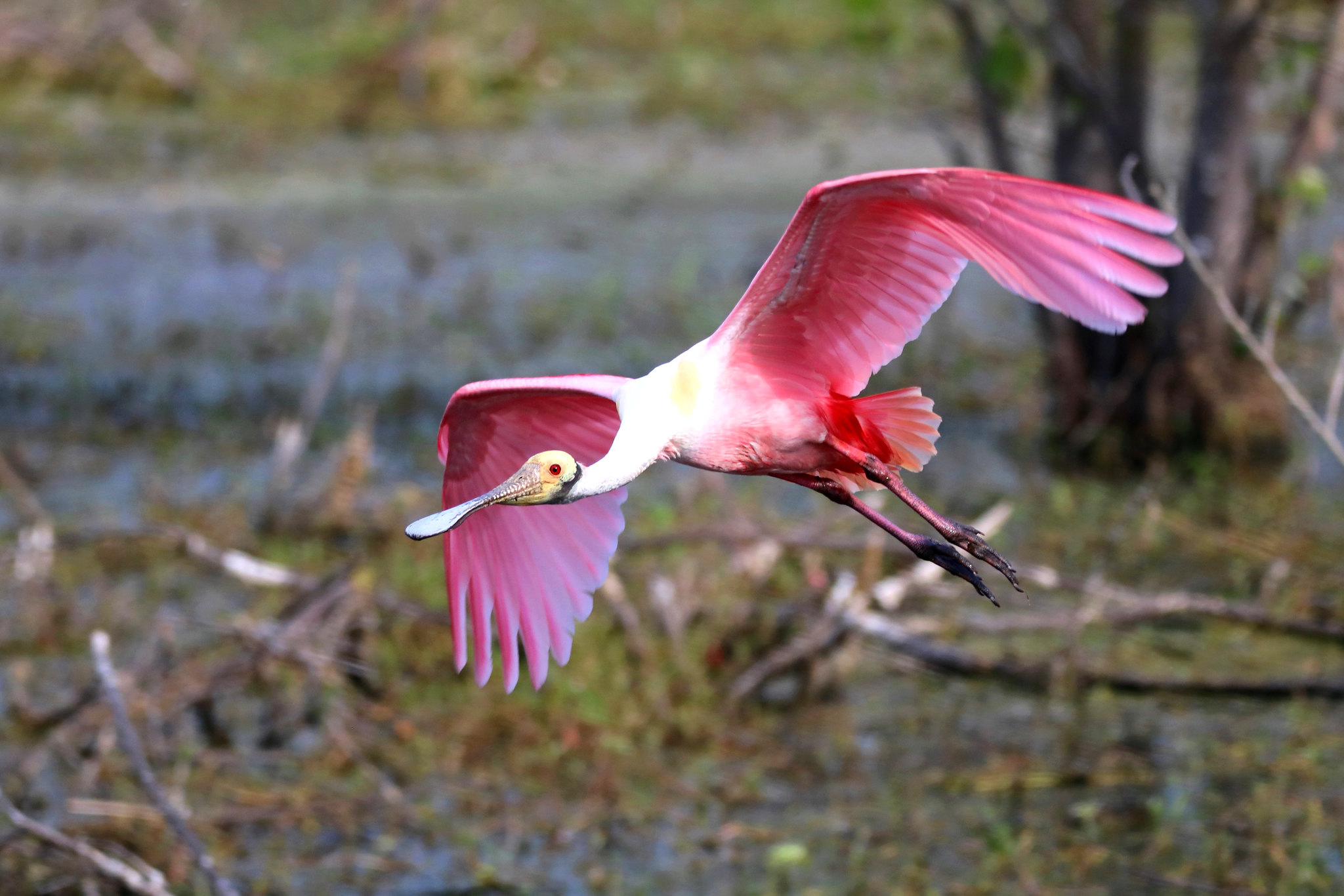 ROSEATE SPOONBILL at Circle B Bar Reserve, Lakeland, Florida (EXPLORE)