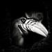 Knobbed Hornbill #2