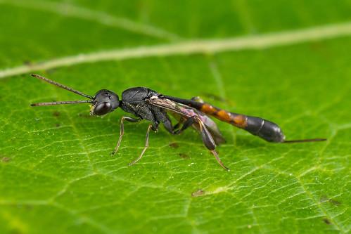 Gasteruptiidae
