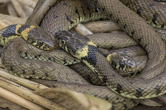 Grass Snakes Otmoor Apr 2018