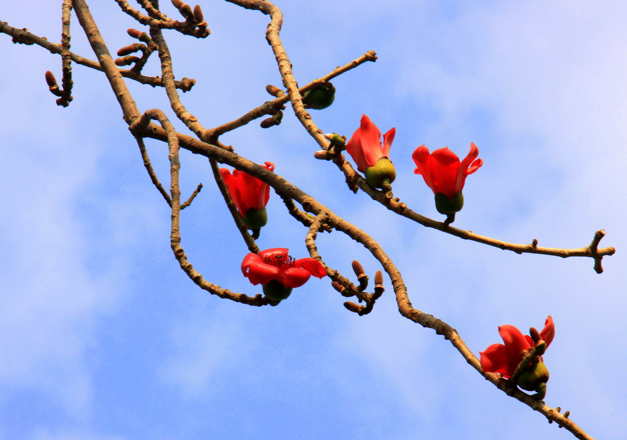 palash flowers bloom in cairo spring