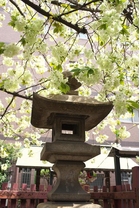 柳森神社の御衣黄