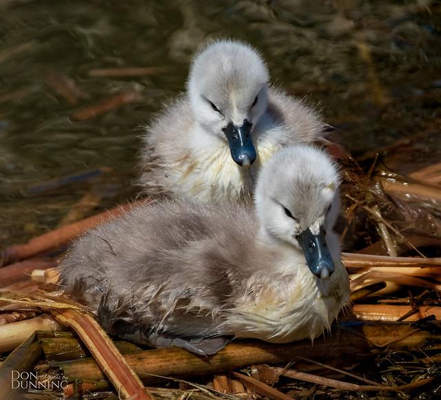 Days Old Mute Swan Cygnets (Cygnus olor)