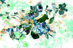blossom at gartnavel