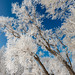 1803_0135 Hoarfrost on Cottonwoods by wild prairie man
