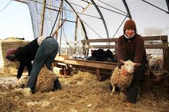 Bonnieview Shearing Day_0179