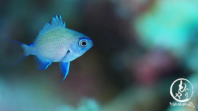 アマミスズメダイの幼魚。旬だねぇ。