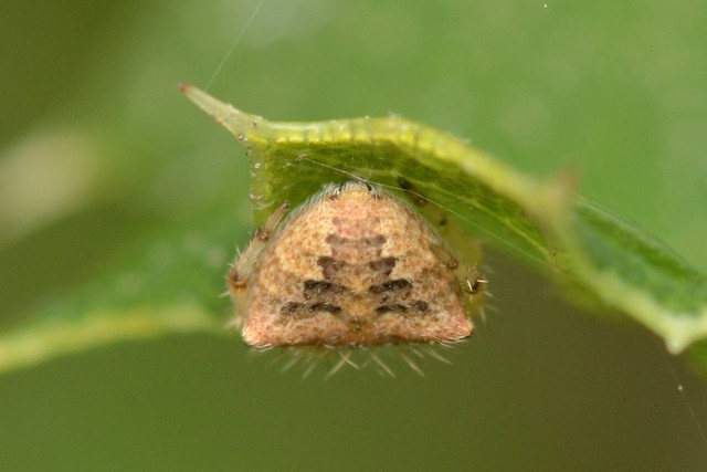 Rear end of a tiny Orb-Weaver Spider