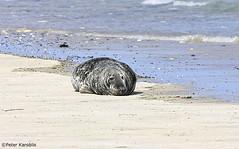 Basstölpel, Kegelrobben und Seehunde  / gannets and seals