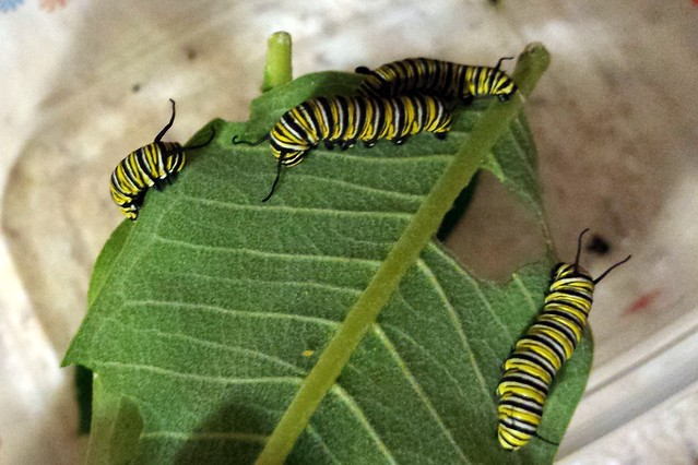 An upside-down common milkweed leaf with four much larger monarch caterpillars.