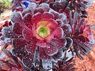 Schwarzkopf Black Rose in the rain
