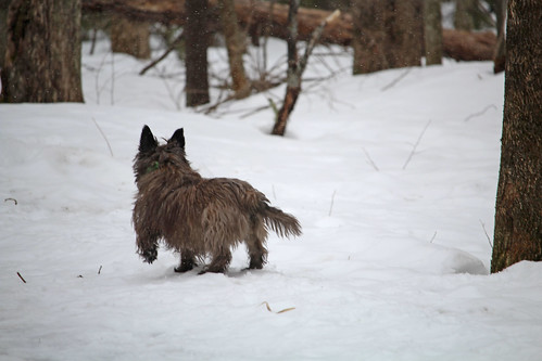 vermont spring nature snow animals dogs cairnterriers pets