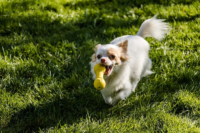 大切な散歩グッズのひとつであるおもちゃで遊ぶ犬