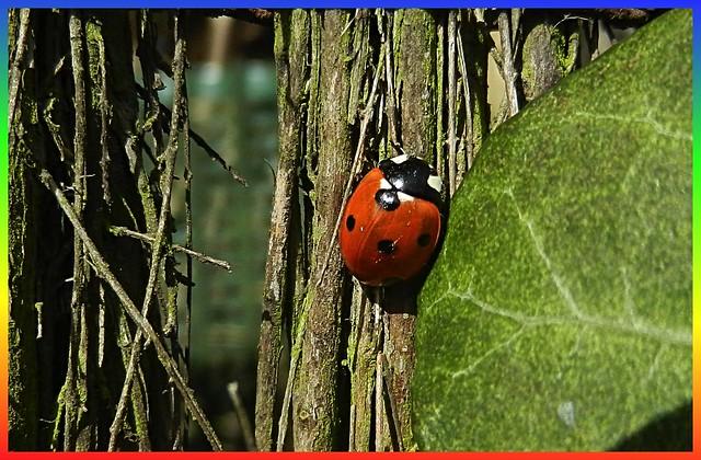 ladybird_0