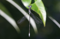 Spotted Spreadwing - Lestes congener - King County, Washington, USA - August 23, 2007